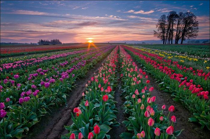field-of-tulips-02 (700x465, 80Kb)