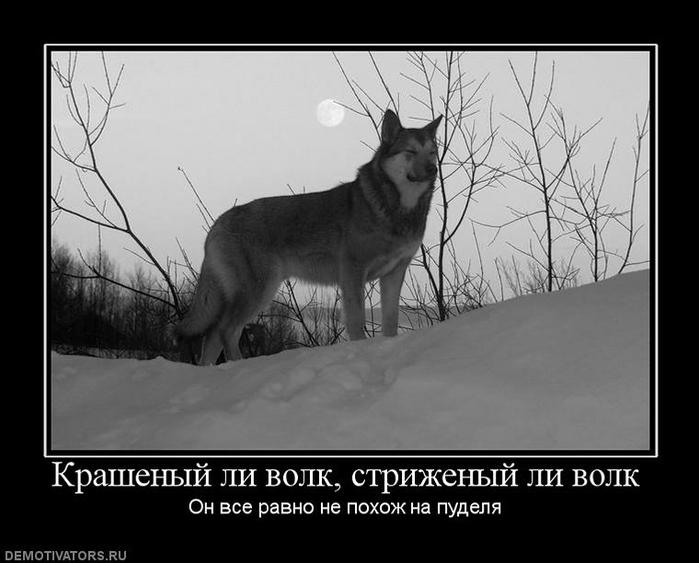 том демотиваторов про бешеного волка вязанию