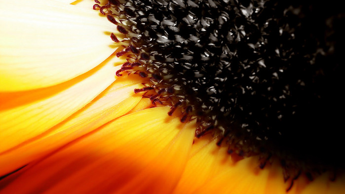 sunflower-wallpaper-1366x768 (2) (700x393, 80Kb)