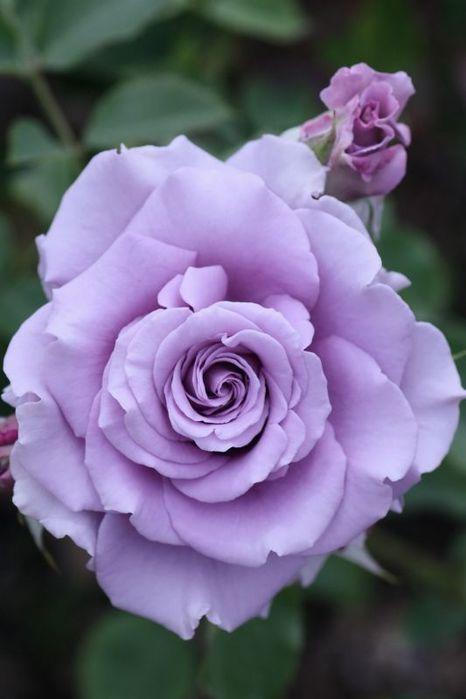 Фиолетовые розы цветы фото и названия