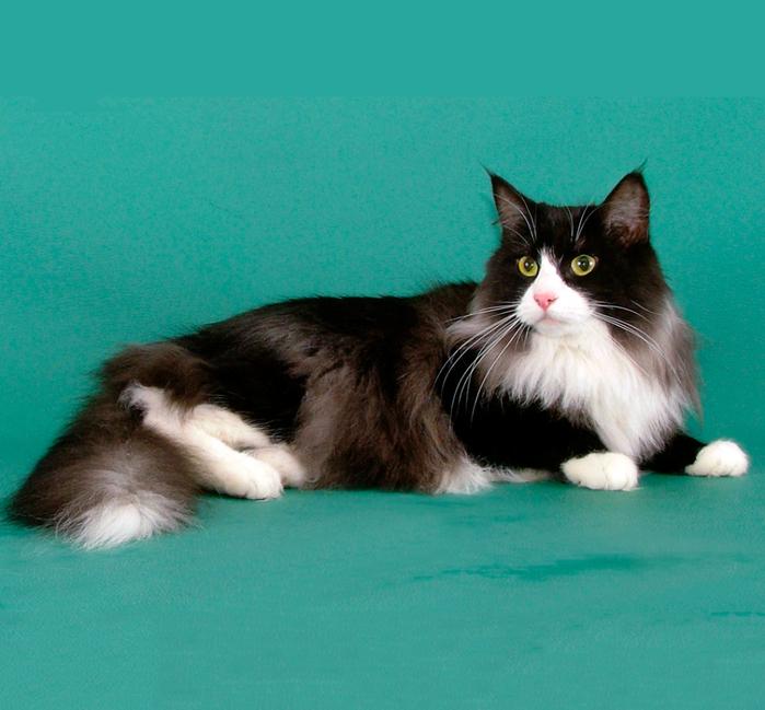 канадская порода лесная фото кошки