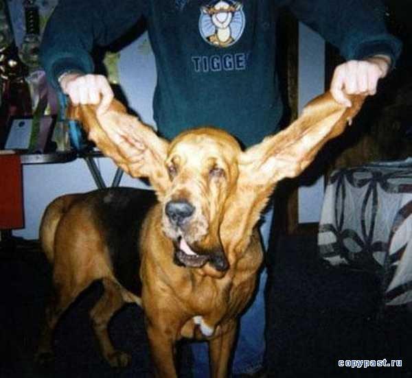 собачьи уши/1331836690_1218566573_image00005 (600x551, 45Kb)
