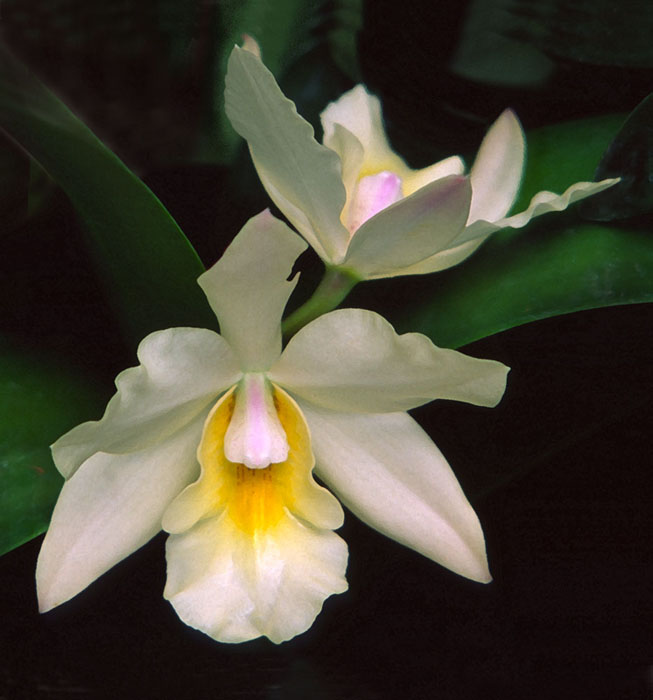 WhiteOrchid (653x700, 83Kb)