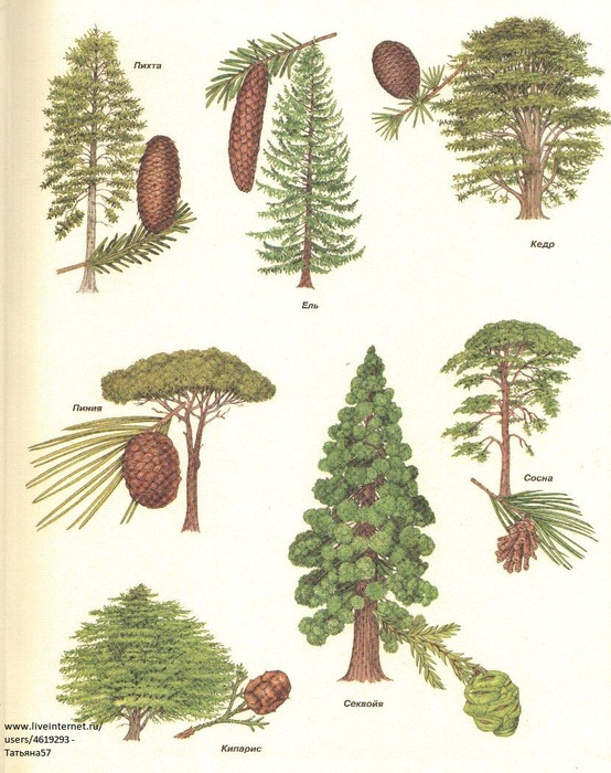 Картинки дерево сосна