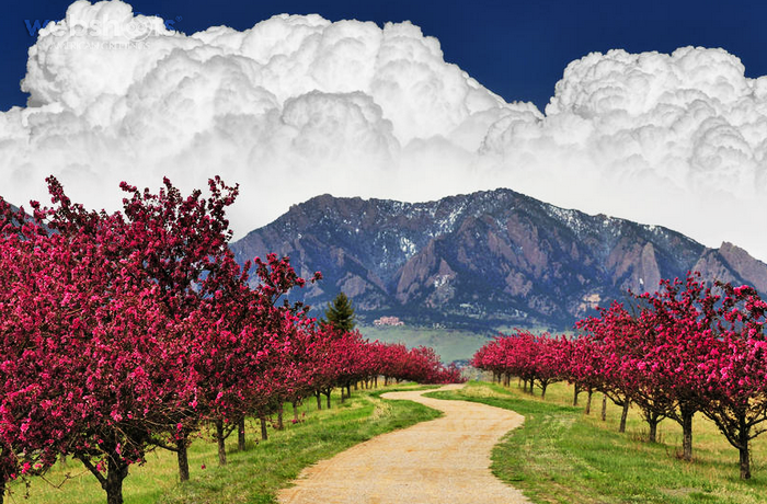 Proshots - Spring Trail, Cherry Blossoms, Flatirons, Boulder, Colorado - Professional Photos (700x460, 562Kb)