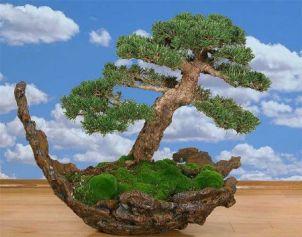 4387736_bonsai_moss_1 (302x237, 17Kb)