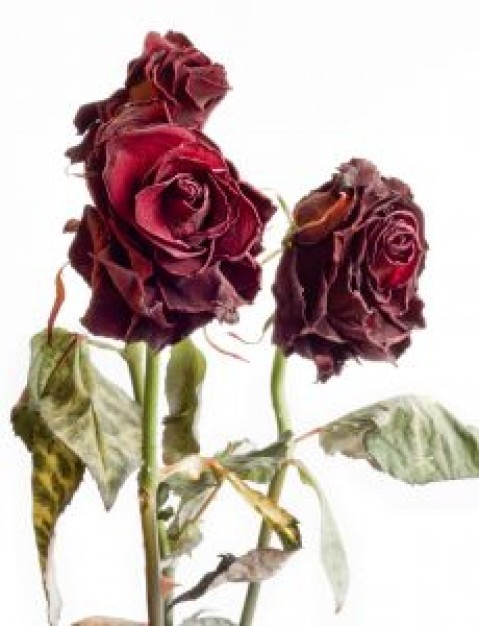 withered-roses-1_21154300 (479x626, 59Kb)