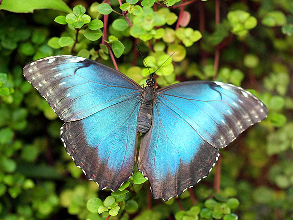 Бабочка Со Знаком Мира
