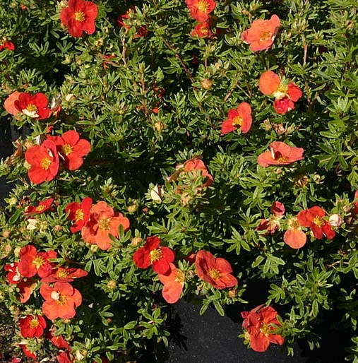 potentilla fruticosa marion red robin (507x514, 140Kb)