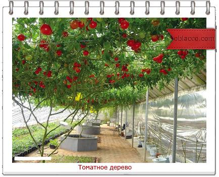 томатное дерево/3518263__2_ (434x352, 321Kb)