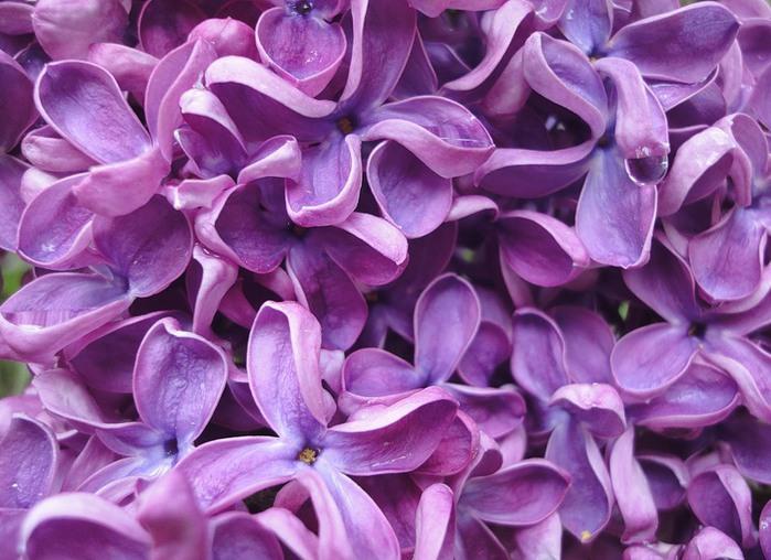 вам картинки лиловый фиолетовый выгрузке фото