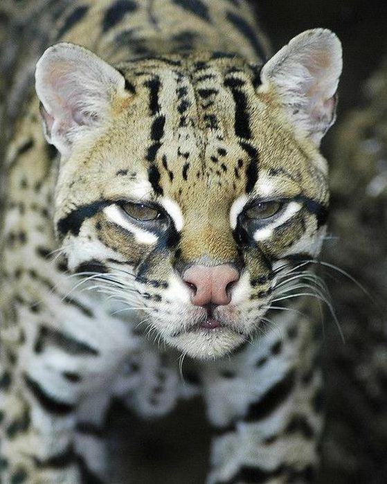 в мире животных кот оцелот обсуждение на Liveinternet российский