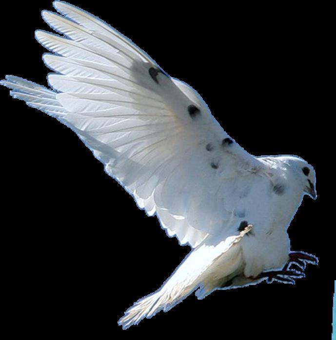 приготовления голубка прозрачные картинки хотите