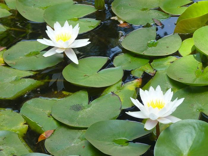 картинки с болотными лилиями вашим услугам бесплатный