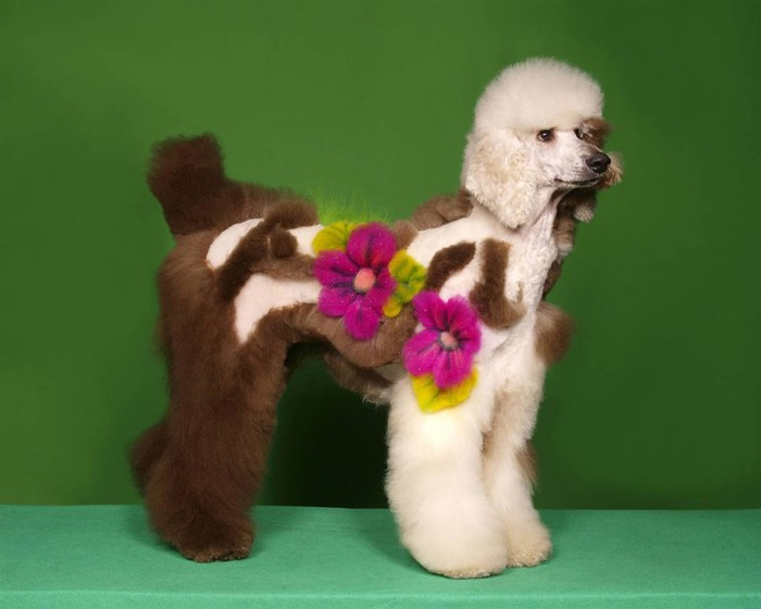 1333183027_barm_poodle_grooming_09ss_full-990x792 (700x560, 50Kb)
