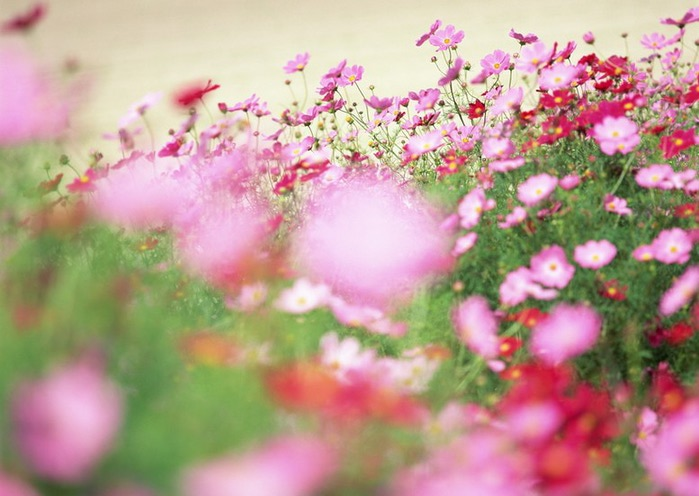 Ванильные фотографии цветов от Sozaijiten 10 (700x496, 84Kb)