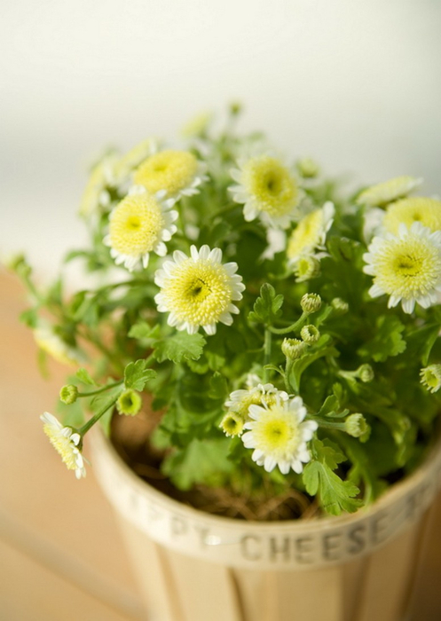Ванильные фотографии цветов от Sozaijiten 27 (497x700, 268Kb)