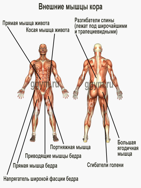 core_muscles (450x600, 56Kb)