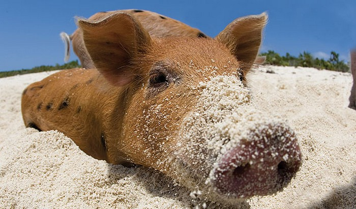 swimming_pigs_big_major_cay_2 (700x411, 107Kb)
