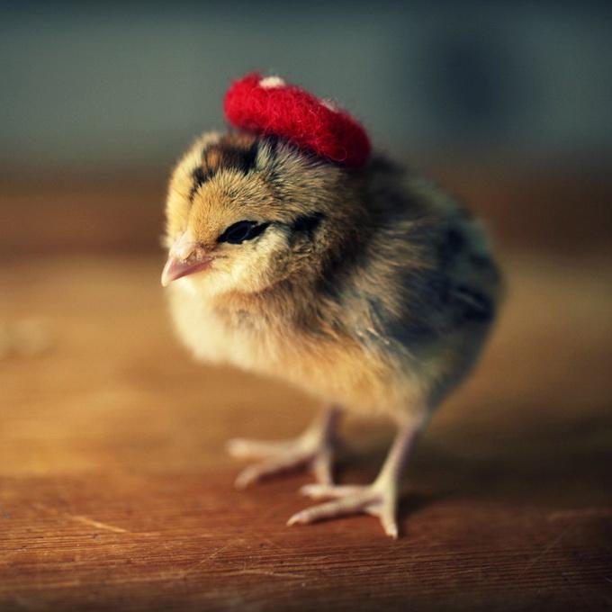 Картинки цыплят с приколами, рисунки аву