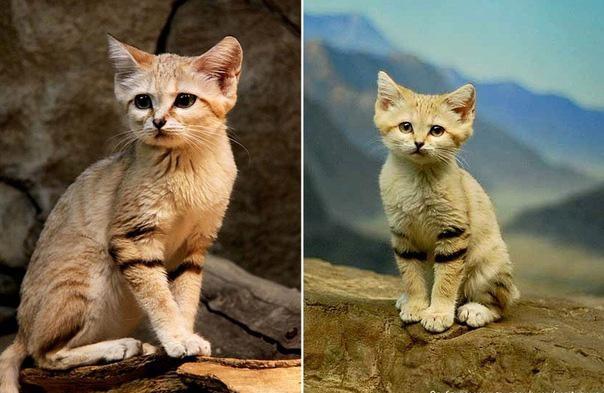 Картинки по запросу Песчаный или барханный кот