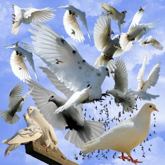 Стая голубей анимация