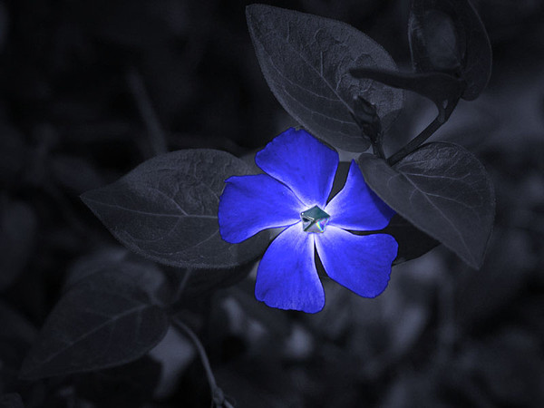 blue_20rose_20 (600x450, 47Kb)