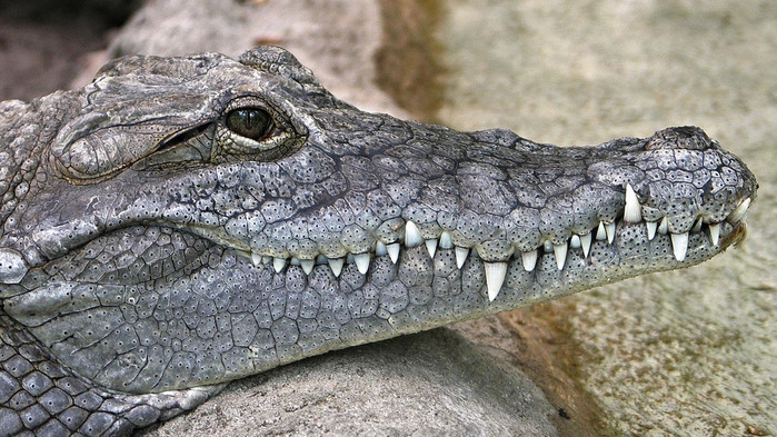 crocodile-wallpaper-1366x768 (2) (700x393, 148Kb)