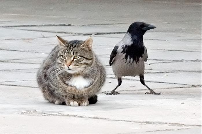 наверно вороны и кошки картинки особенностью
