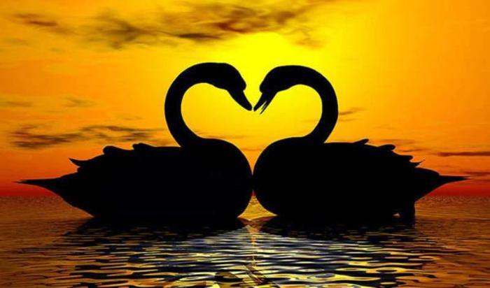 на закате фото лебедей