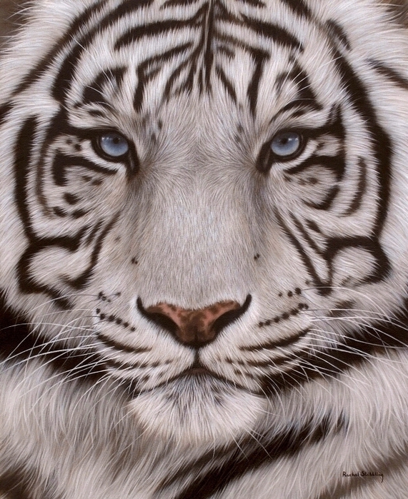 5019858_whitetigerface1 (571x700, 355Kb)