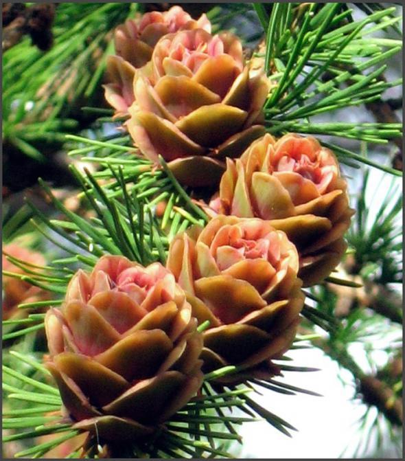 цветет лиственница сибирская 16 (590x671, 387Kb)