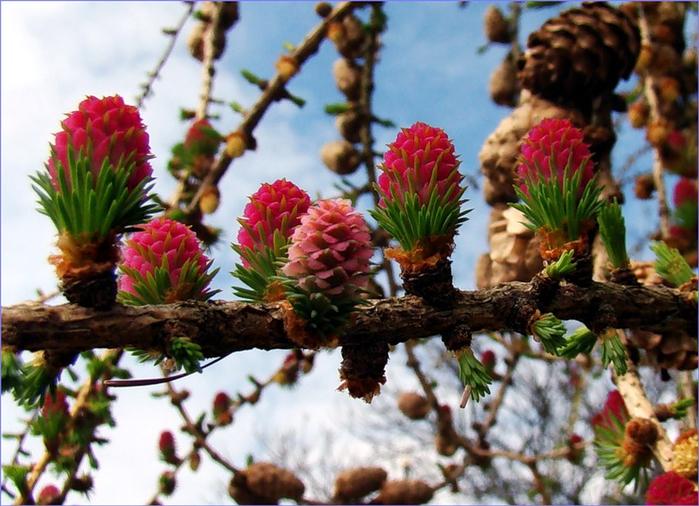 цветет лиственница сибирская 3 (700x506, 436Kb)