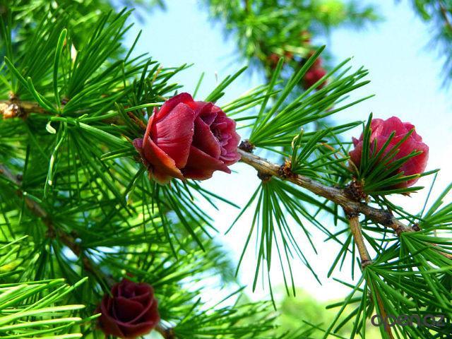 цветет лиственница сибирская 1 (640x480, 408Kb)