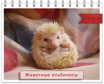 животные альбиносы/3518263_yojj (434x352, 258Kb)