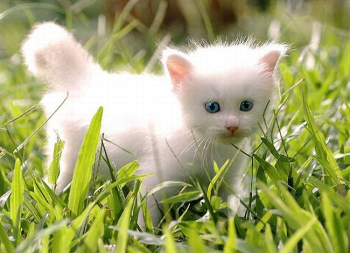 1280978188_white_kitten_02 (700x506, 59Kb)