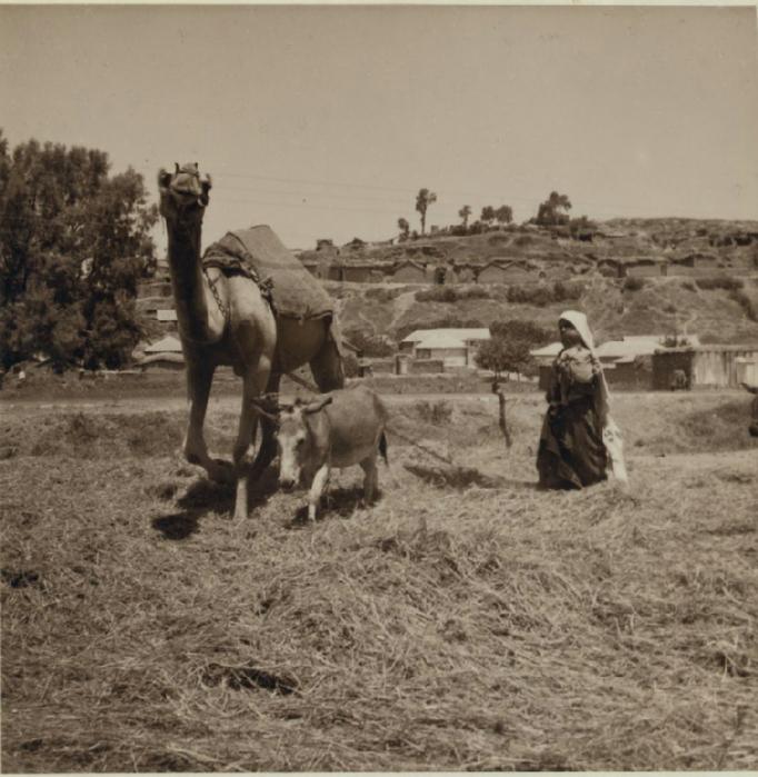 11 Работа в поле при помощи верблюда и осла. Ашдод. 3 июля (682x700, 343Kb)