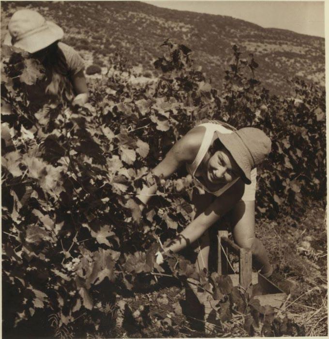 15 Подножье Кармеля. Еврейские фермеры собирают ранний виноград для продажи на рынке Хайфы. 6 июля (680x700, 96Kb)