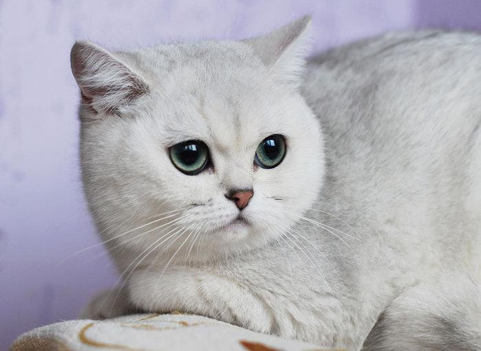 шиншилловый кот фото