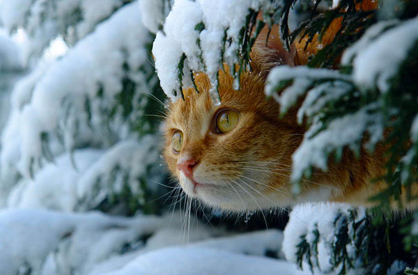 cats-and-snow (600x395, 53Kb)