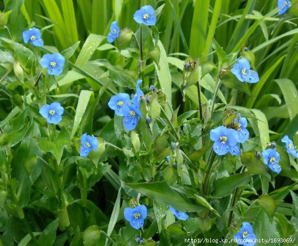 phoca_thumb_l_commelina (2) (582x480, 183Kb)