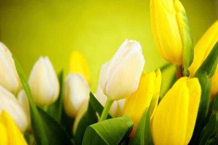 Жёлтые тюльпаны на зелёном фоне Обсуждение на