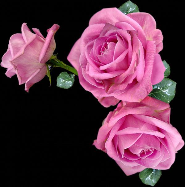 Картинки розовые розы блестящие
