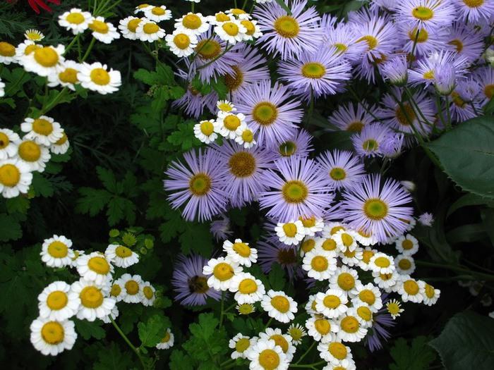 матрикария фото цветы получилось