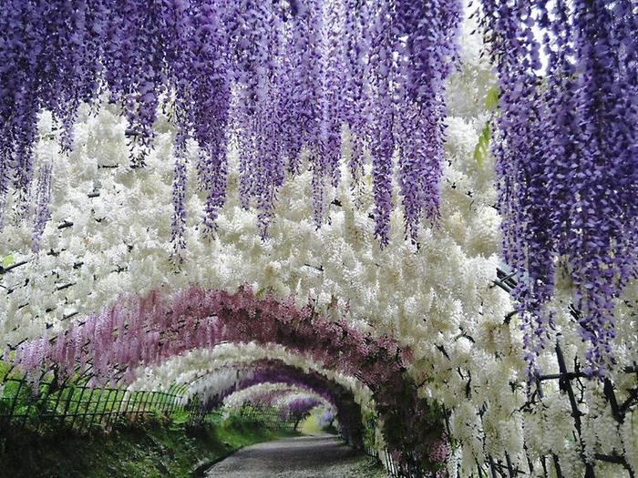 Kawachi-Fuji-Garden-In-Japan-1 (700x525, 122Kb)