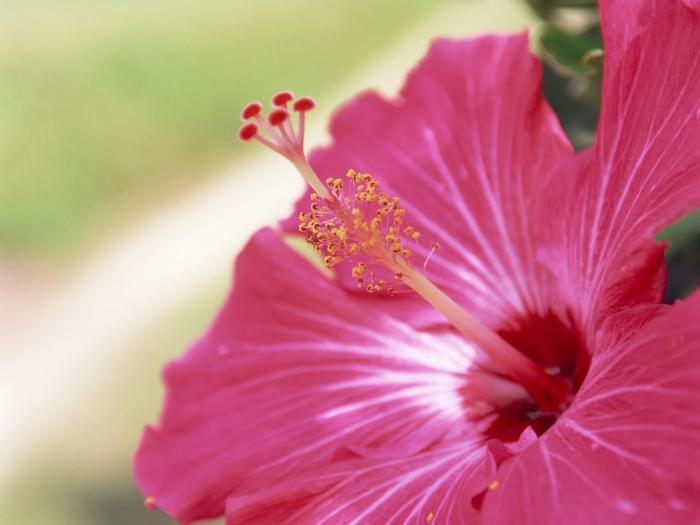 flower_of_Okinawa_GJ122 (700x525, 195Kb)