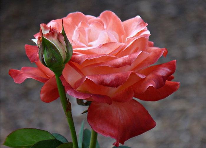 картинки в парке чаир распускаются розы