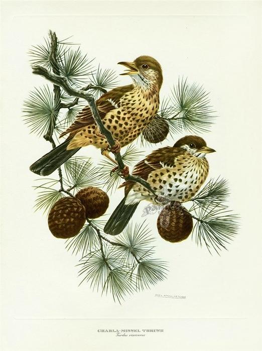 винтажные птицы. картинки для декупажа (2) (522x700, 241Kb)