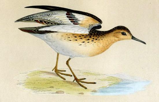 винтажные птицы. картинки для декупажа (11) (550x353, 136Kb)