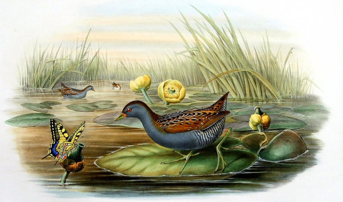 винтажные птицы. картинки для декупажа (13) (700x413, 261Kb)